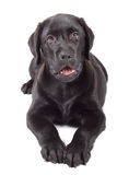 Black-Chocolate Labrador Retriever Puppy Royalty Free Stock Photos