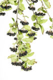 Black Choke berries. Aronia isolated on white stock images