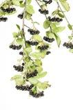 Black Choke berries Stock Images
