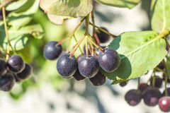 Black choke berry Royalty Free Stock Photos