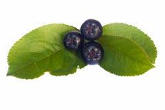 Black chokeberries Stock Image