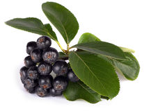 Black chokeberry Stock Photography