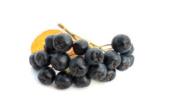 Black chokeberry. Berries black chokeberry on a white background Stock Photography