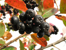 Black chokeberry Stock Image
