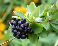 Black chokeberry. Aronia melanocarpa - chokeberries is attractive ornamental plants for gardens Royalty Free Stock Images