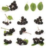 Black chokeberry. Various Black chokeberry bunch (Aronia melanocarpa) close up Stock Photography