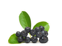 Black chokeberry Royalty Free Stock Photos