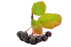 Black chokeberry Royalty Free Stock Photo