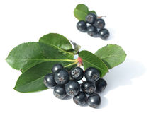 Black chokeberry (aronia). Well known for its many health benefits stock image