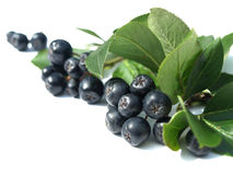 Black chokeberry (aronia). Well known for its many health benefits royalty free stock image