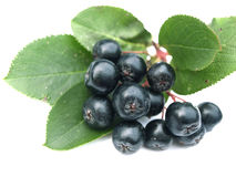 Black chokeberry (aronia). Well known for its many health benefits stock photography