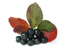 Black chokeberry (aronia). Well known for its many health benefits royalty free stock photography