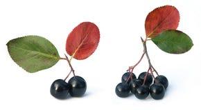 Black chokeberry (aronia). Black chokeberry isolated on white stock image