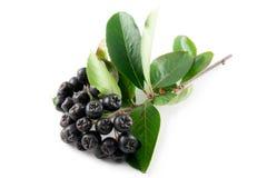Black Chokeberry (Aronia) Royalty Free Stock Photo