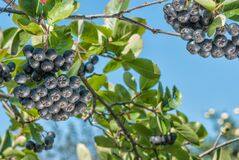 Black Chokeberry Aronia Melanocarpa Royalty Free Stock Image