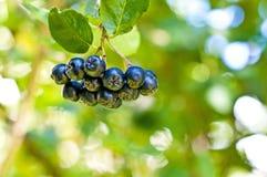 Black chokeberry,Aronia melanocarpa Royalty Free Stock Photography