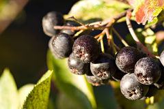 Black chokeberry (Aronia melanocarpa) Stock Photos