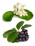Black chokeberry (Aronia melanocarpa) Stock Photography