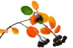 Black chokeberry (Aronia melanocarpa) Stock Image