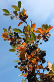 Black chokeberry (Aronia melanocarpa). Branch on a background of blue sky Royalty Free Stock Photos