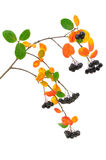 Black chokeberry (Aronia melanocarpa) branch Royalty Free Stock Photos