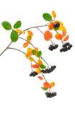 Black chokeberry (Aronia melanocarpa) branch Royalty Free Stock Photos
