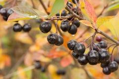 Black chokeberry Aronia melanocarpa fruit in the autumn garden. Close-up. Royalty Free Stock Image