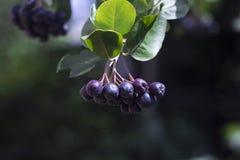 Black chokeberry Aronia melanocarpa fruit in the garden stock image