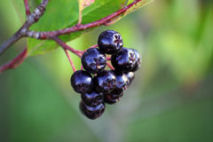Black chokeberry, Aronia melanocarpa Stock Images