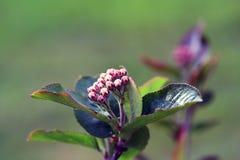 Black chokeberry, Aronia melanocarpa Royalty Free Stock Image