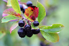 Black chokeberry, Aronia melanocarpa Royalty Free Stock Photos