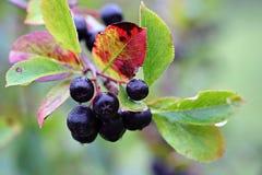 Black chokeberry, Aronia melanocarpa Royalty Free Stock Photos