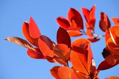 Free Black Chokeberry Aronia Melanocarpa. Red Leaves Against The Blue Sky. Autumn Sunny Day. Stock Image - 129550241