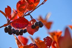 Free Black Chokeberry Aronia Melanocarpa. Red Leaves Against The Blue Sky. Autumn Sunny Day. Stock Images - 129550394