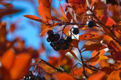 Free Black Chokeberry Aronia Melanocarpa. Red Leaves Against The Blue Sky. Autumn Sunny Day. Royalty Free Stock Photos - 129550408
