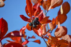 Free Black Chokeberry Aronia Melanocarpa. Red Leaves Against The Blue Sky. Autumn Sunny Day. Stock Photo - 129550450