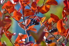 Free Black Chokeberry Aronia Melanocarpa. Red Leaves Against The Blue Sky. Autumn Sunny Day. Royalty Free Stock Photography - 129550497