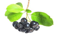 Black chokeberry  (Aronia melanocarpa) Stock Photo