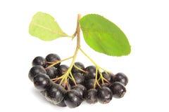 Black chokeberry  (Aronia melanocarpa) Royalty Free Stock Photography