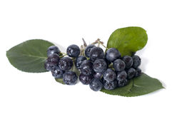 Black chokeberry - aronia Royalty Free Stock Photo