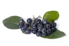 Black chokeberry - aronia Royalty Free Stock Photo