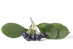 Black chokeberry - aronia Stock Photos