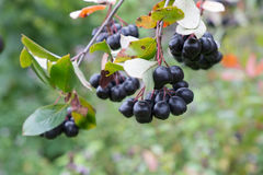 Black chokeberry Stock Images