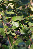 Black chokeberry on bush Stock Image
