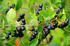 Black chokeberry in the garden Royalty Free Stock Image