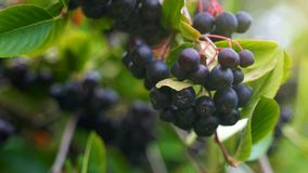 Black chokeberry on the tree in summer day. Sorbaronia mitschurinii. Black chokeberry on the tree in sunny summer day. Sorbaronia mitschurinii stock footage