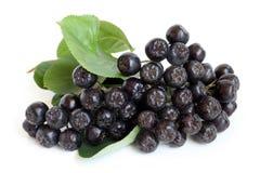 Black chokeberry Royalty Free Stock Photography