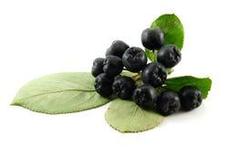Black chokeberry Royalty Free Stock Image