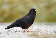 Black chough Royalty Free Stock Photos