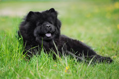 Black chow chow dog outdoors Royalty Free Stock Photography